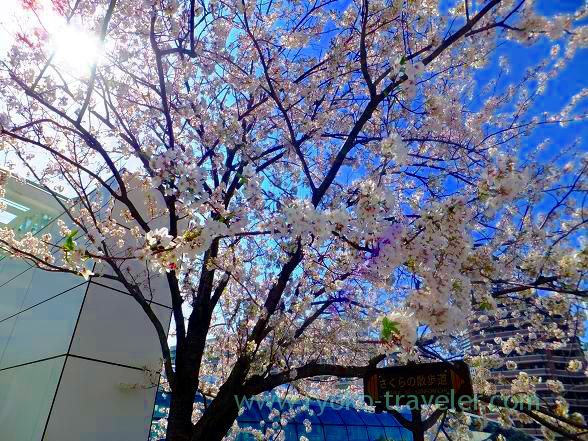 Cherry blossoms at Harumi Toriton 2014 2