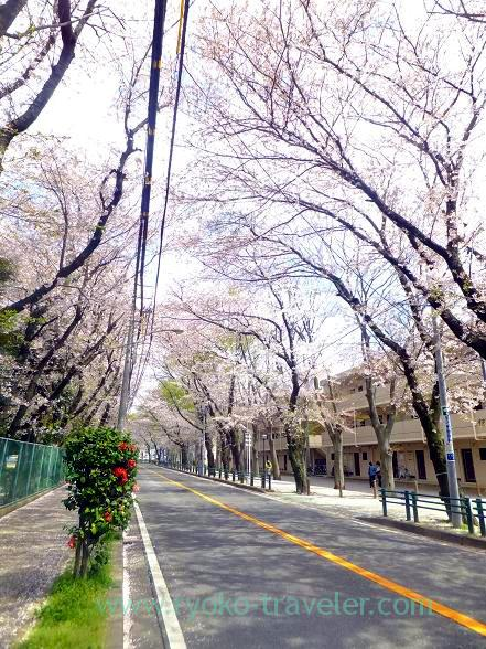 Cherry blossoms at Keisei Okubo sta.