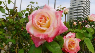 Yatsu : Roses, fishes and yum ! (谷津バラ園, 緑の星)