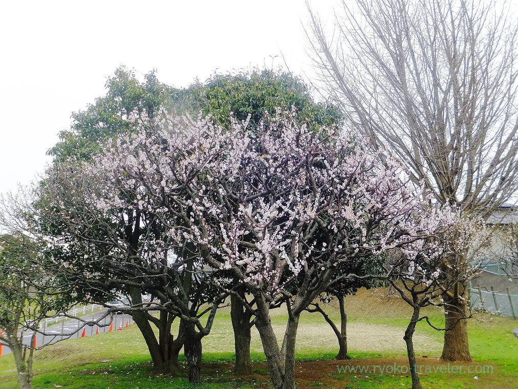 Beautiful plum tree, Narashino Bairinen, plum grove park (Keisei-Okubo)