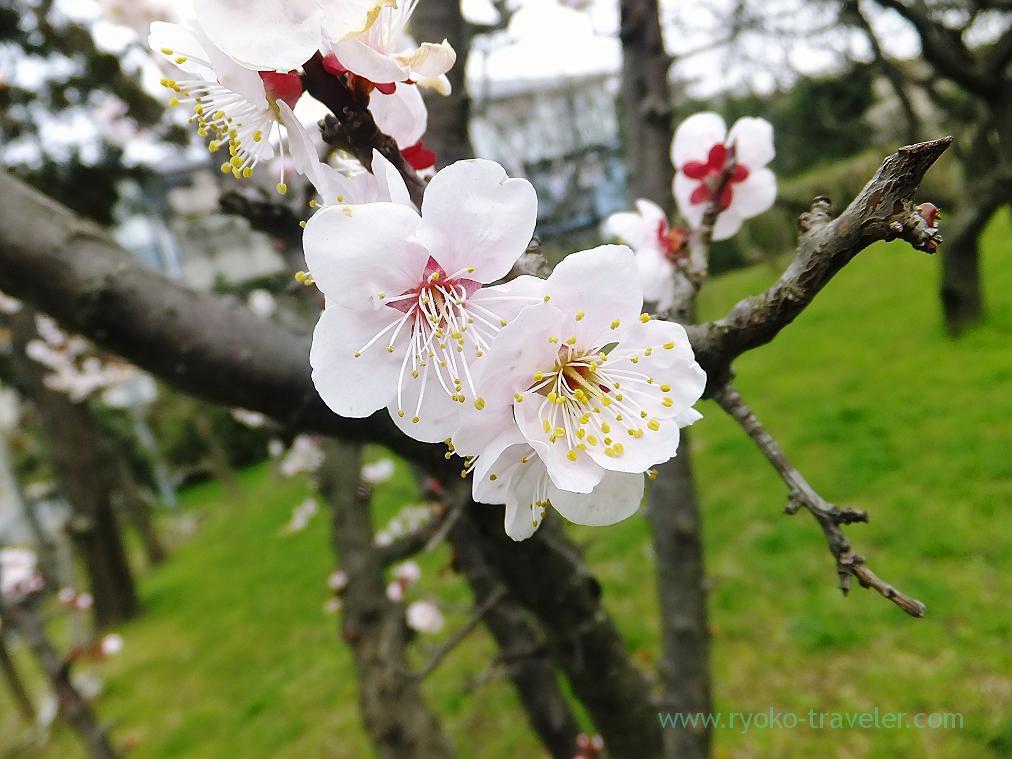 Blossoms, Narashino Bairinen, plum grove park (Keisei-Okubo)