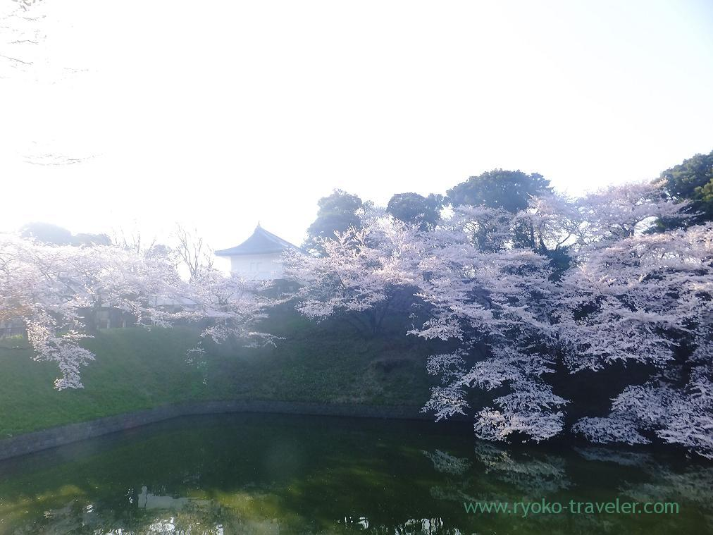 Cherry blossoms and edo castle ruins, Chidorigafuchi (Kudanshita)