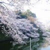 Chidorigafuchi : Best cherry blossoms spot in Japan
