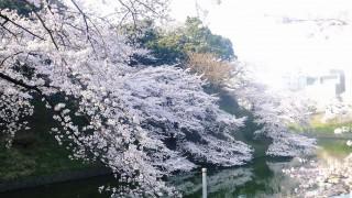 Chidorigafuchi : Best cherry blossoms spot in Japan