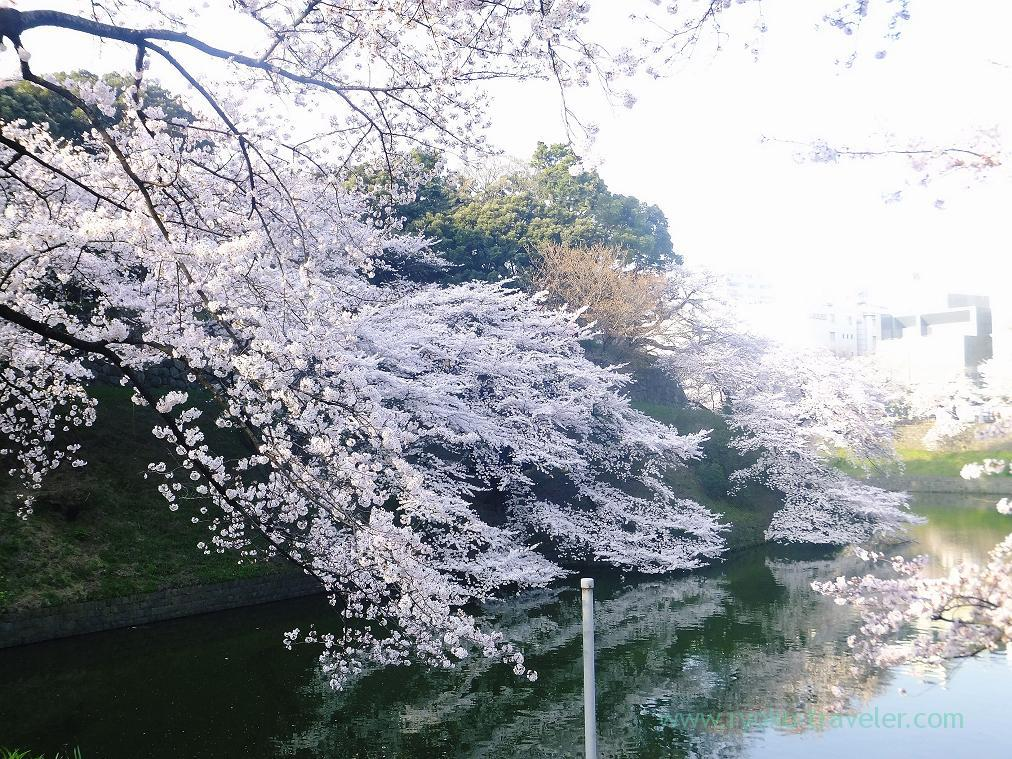 Cherry blossoms and moats, Chidorigafuchi (Kudanshita)