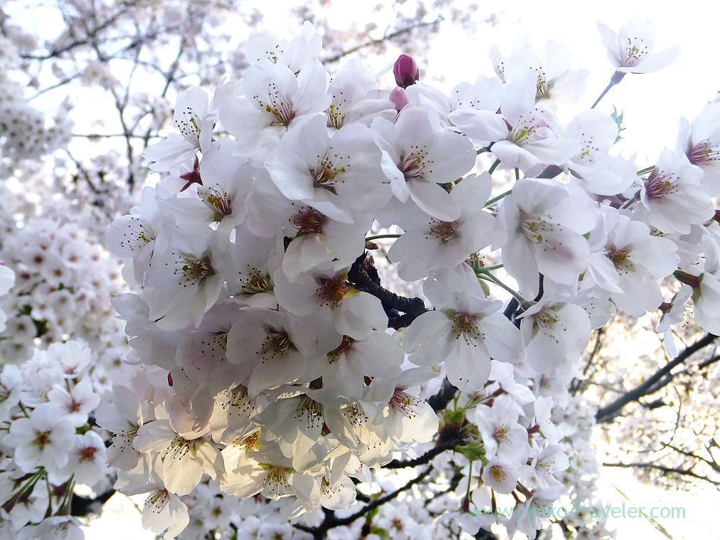 Cherry flowers, Chidorigafuchi (Kudanshita)