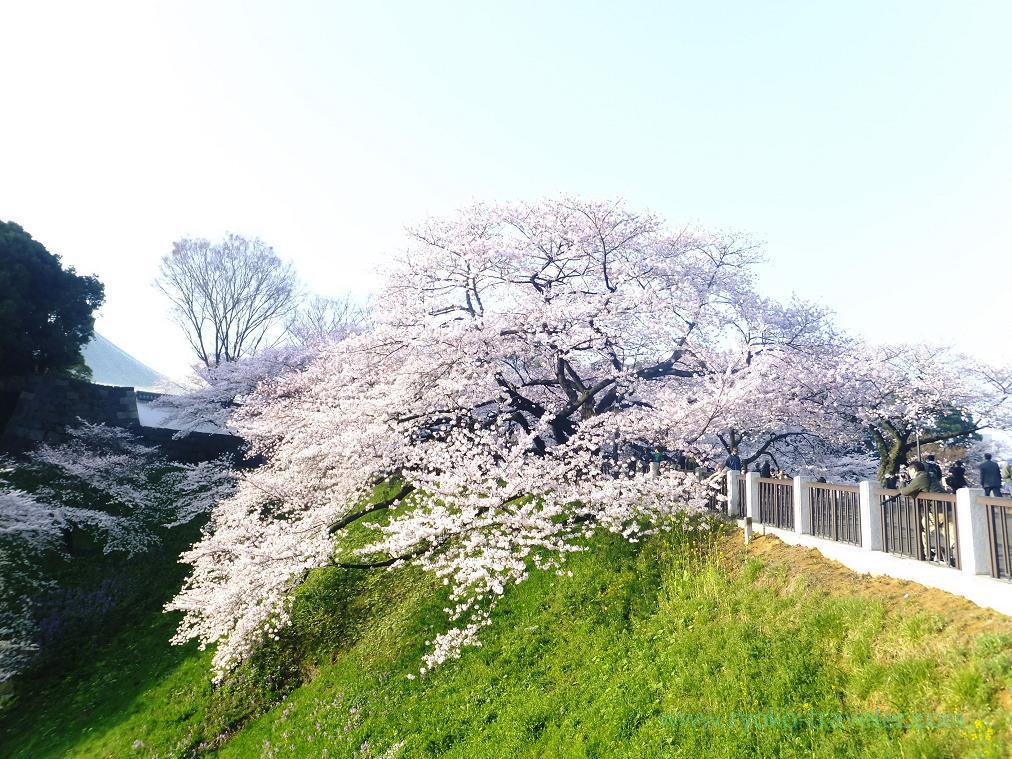 Cherry tree, Chidorigafuchi (Kudanshita)