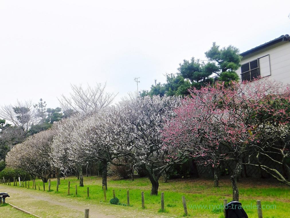 Plum trees, Narashino Bairinen, plum grove park (Keisei-Okubo)