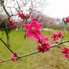 Keisei-Okubo : Plum blossoms are blooming in Narashino Bairinen