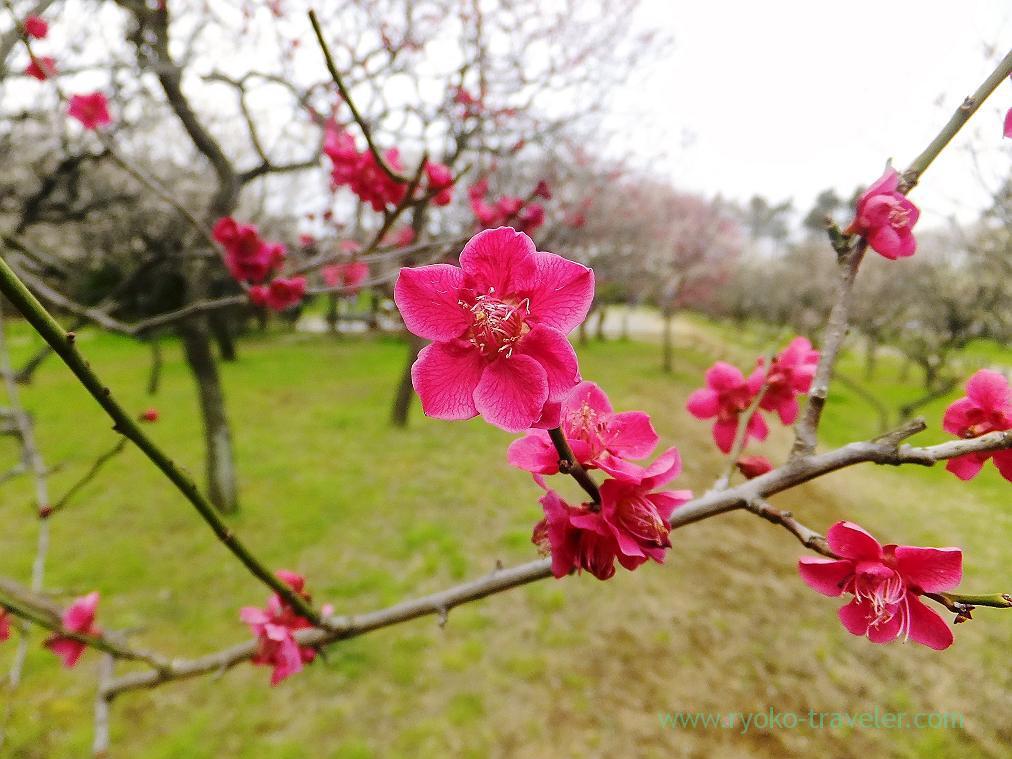 Red plum blossom, Narashino Bairinen, plum grove park (Keisei-Okubo)