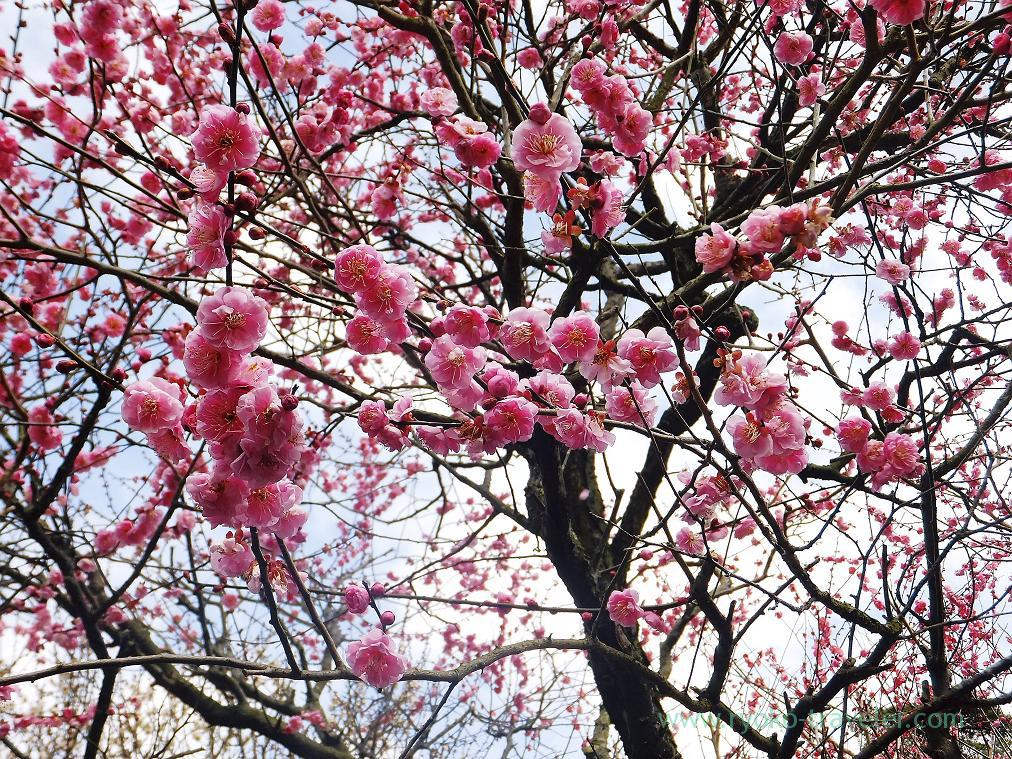 (Trip to Izu 2015 to see the earliest plum blossoms in Kanto area ) Pink1, Atami Baien (Kinomiya)