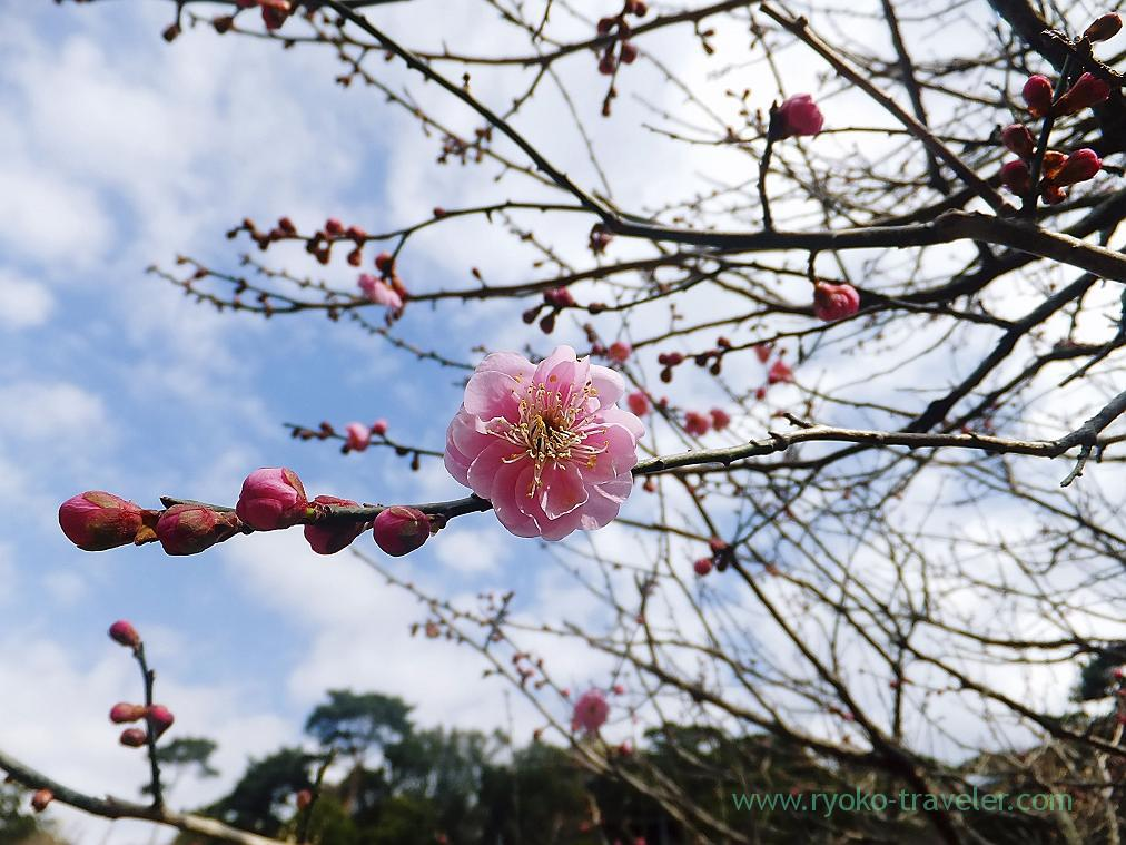 (Trip to Izu 2015 to see the earliest plum blossoms in Kanto area ) Pink2, Atami Baien (Kinomiya)