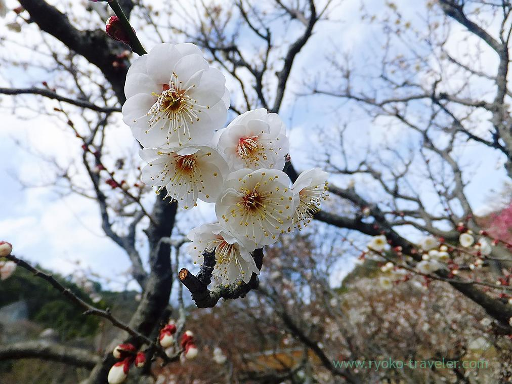 (Trip to Izu 2015 to see the earliest plum blossoms in Kanto area ) White1, Atami Baien (Kinomiya)