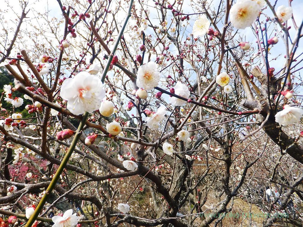 (Trip to Izu 2015 to see the earliest plum blossoms in Kanto area ) White2, Atami Baien (Kinomiya)