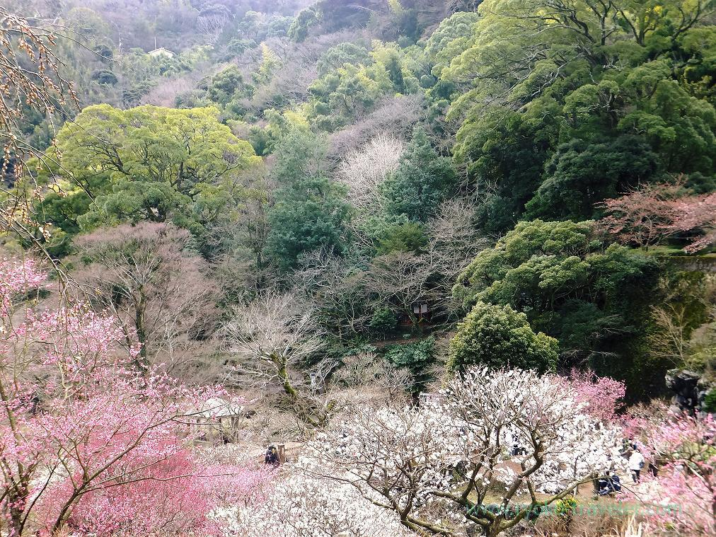 (Trip to Izu 2015 to see the earliest plum blossoms in Kanto area ) Whole view, Atami Baien (Kinomiya)