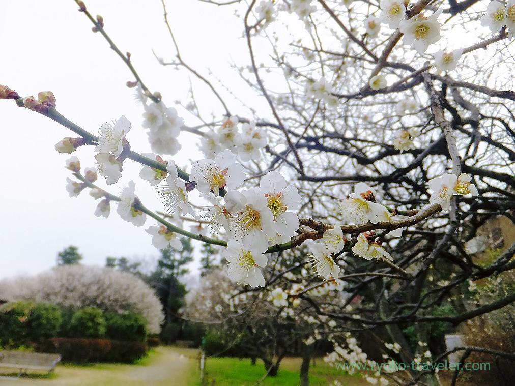 White plum blossom, Narashino Bairinen, plum grove park (Keisei-Okubo)