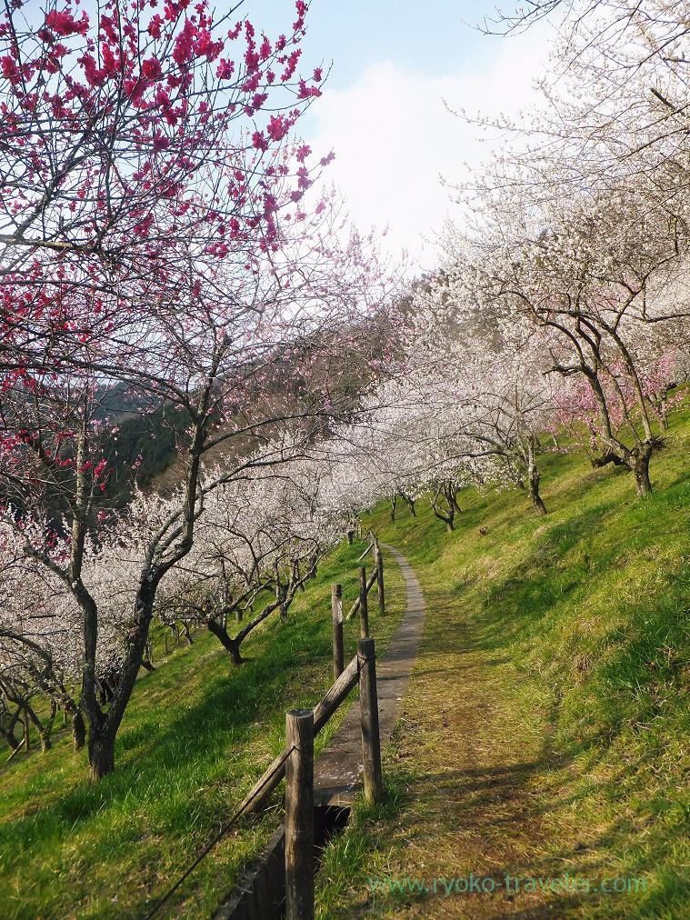 Awesome beautiful, Kogesawa plum grove (Takao)