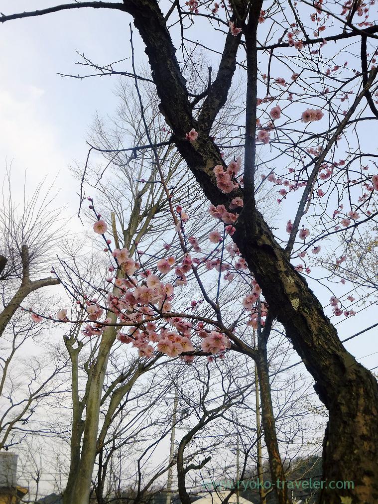 Few tree, Sekisho plum grove (Takao)