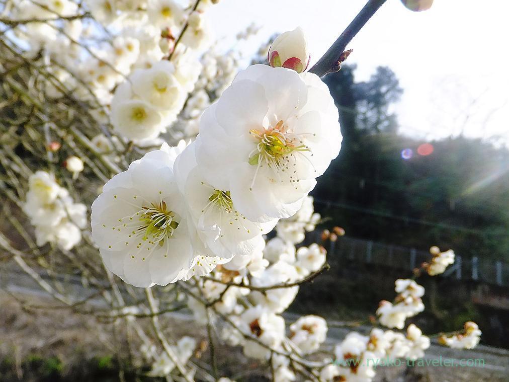White plum blossoms, Kogesawa plum grove (Takao)