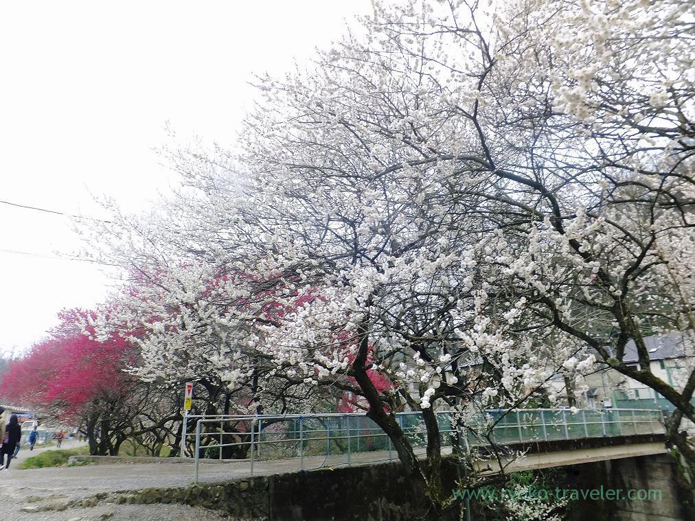 White plum blossoms, Komakino Park (Takao)