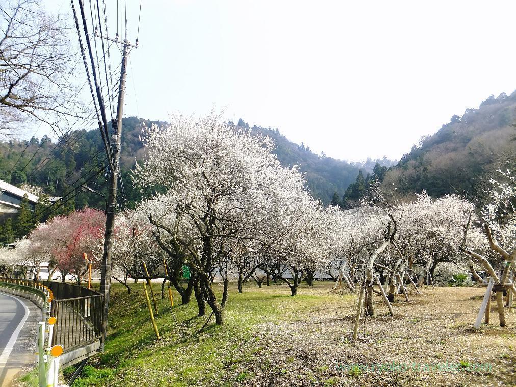 Whole park, Yunohana plum grove (Takao)