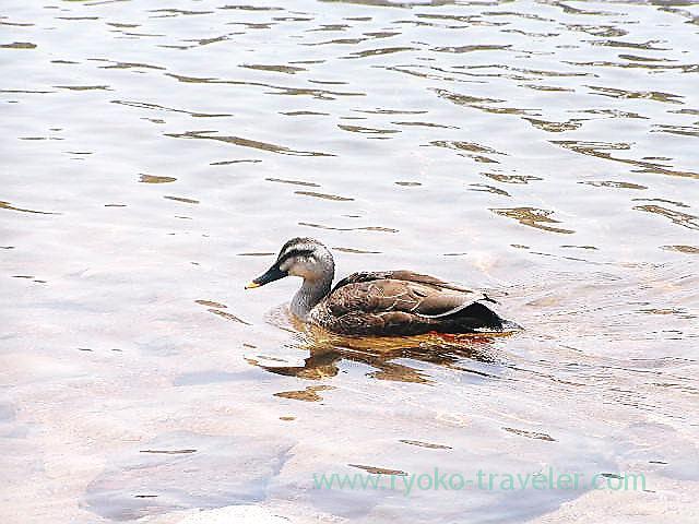 Bird 2, Yumiike pond, Kusatsu onsen (Kusatsu & Kawarayu 2011)