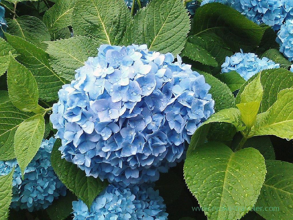 Hydrangea 1, Harumi Toriton (Kachidoki)