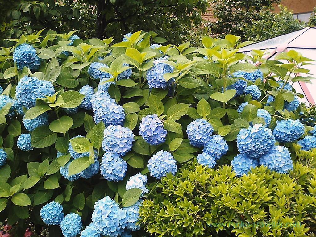 Hydrangea 2, Harumi Toriton (Kachidoki)