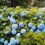 Hydrangea in Harumi Toriton Square Garden