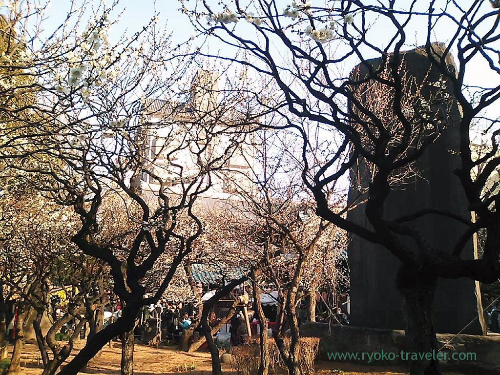 Plum blossoms festival 3, Yushima tenjin shrine (Yushima)