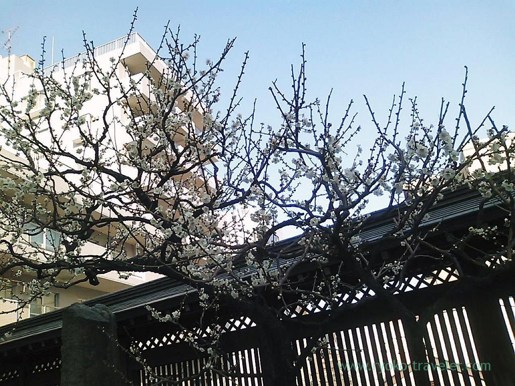 Plum blossoms festival 5, Yushima tenjin shrine (Yushima)