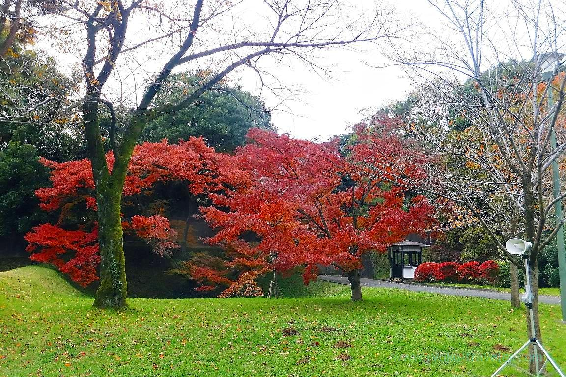 Autumn leaves 8, Opening of Inui street in Imperial palace to public 2015 Autumn