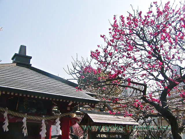 Plum blossoms1, Kameidoten Jinja (Kameido)