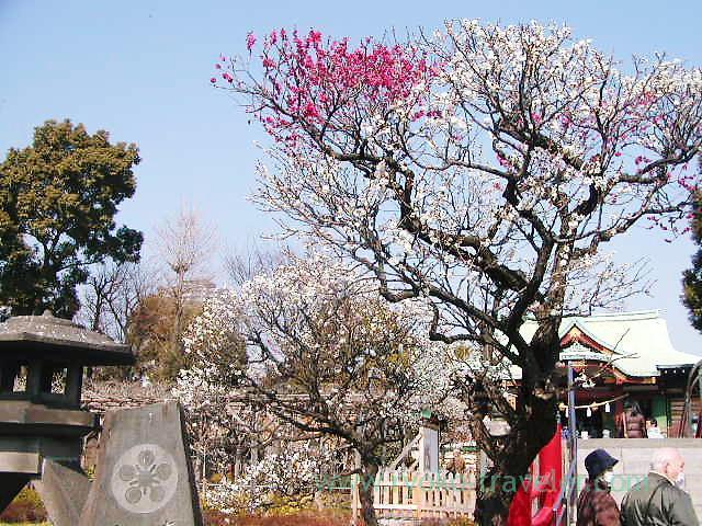 Plum blossoms2, Kameidoten Jinja (Kameido)