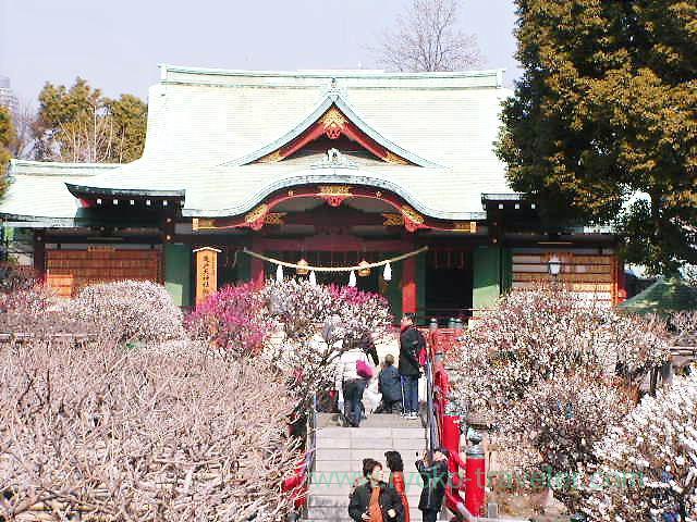 Worship hall in plum blossoms, Kameidoten Jinja (Kameido)