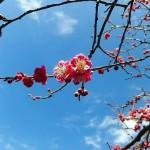 Keisei Okubo : Plum blossoms at Narashino Bairinen 2016 (習志野梅林園)
