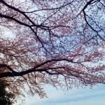 Keisei Okubo : Sakura street