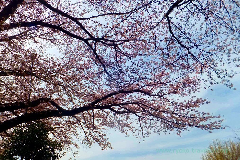 Cherry blossoms, Keisei Okubo sakura street (Keisei Okubo)