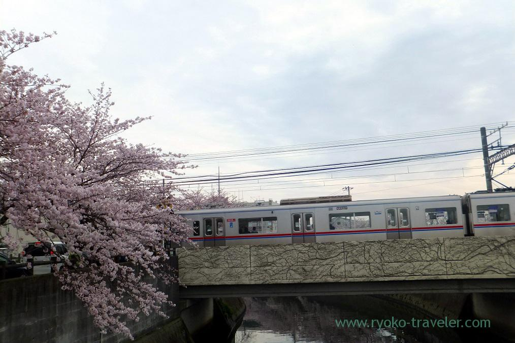 Cherry blossoms and Keisei train, Mama river (Onigoe)