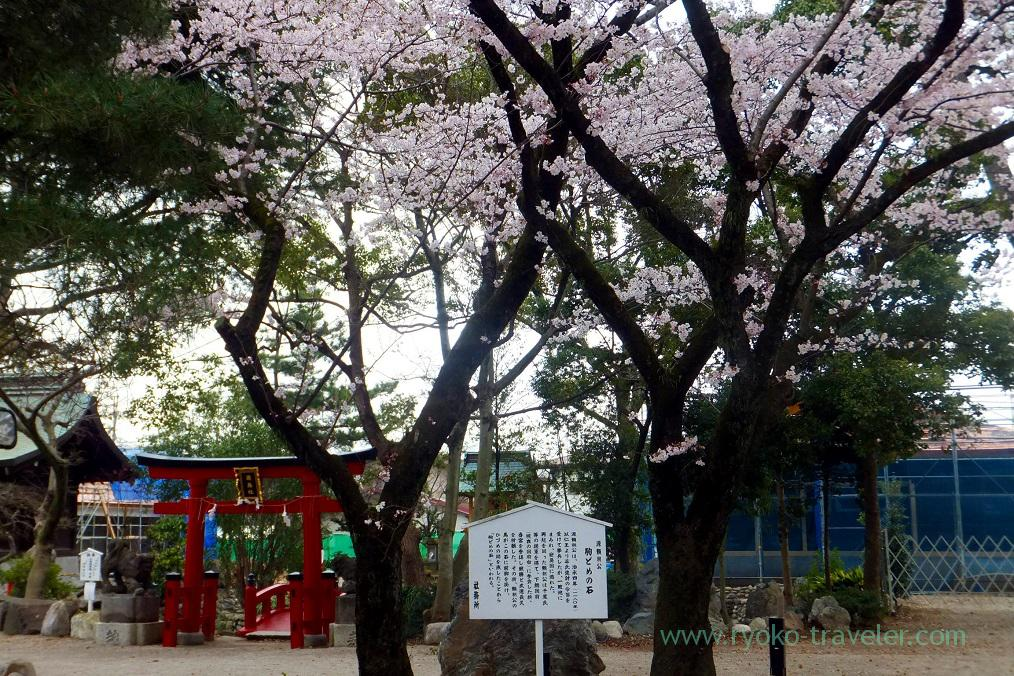 Cherry blossoms and Red torii, Katsushika Hachimangu shrine (Motoyawata)