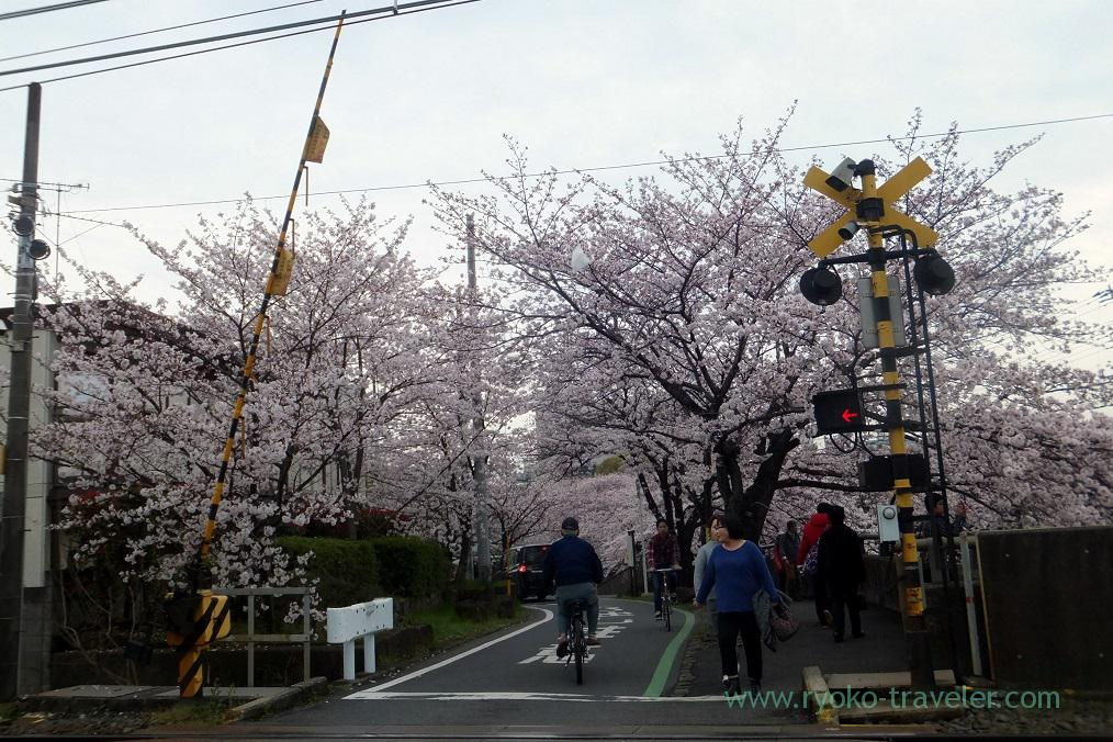 Cherry blossoms and rail, Mama river (Onigoe)