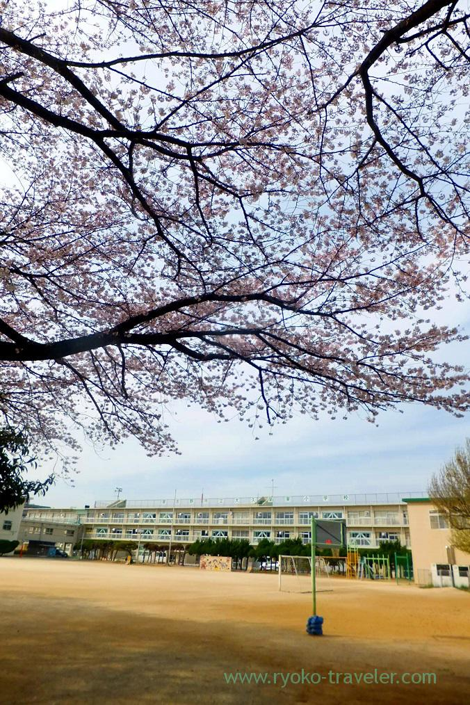 Cherry blossoms in the elementary school's ground, Keisei Okubo sakura street (Keisei Okubo)