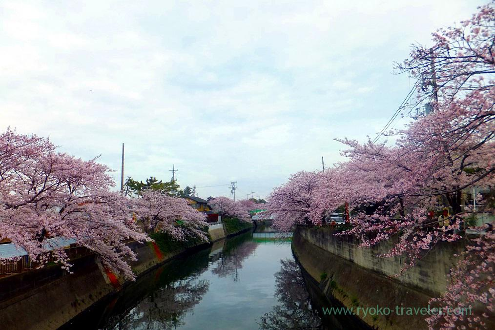 Cherry blossoms2, Mama river (Onigoe)