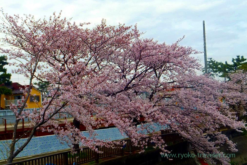 Cherry blossoms3, Mama river (Onigoe)