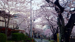 Motoyawata : Cherry blossoms at Katsushika hachimangu and Mama river (葛飾八幡宮, 真間川)
