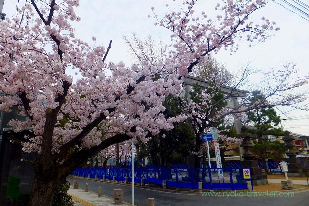 Torii and cherry blossoms, Katsushika Hachimangu shrine (Motoyawata)
