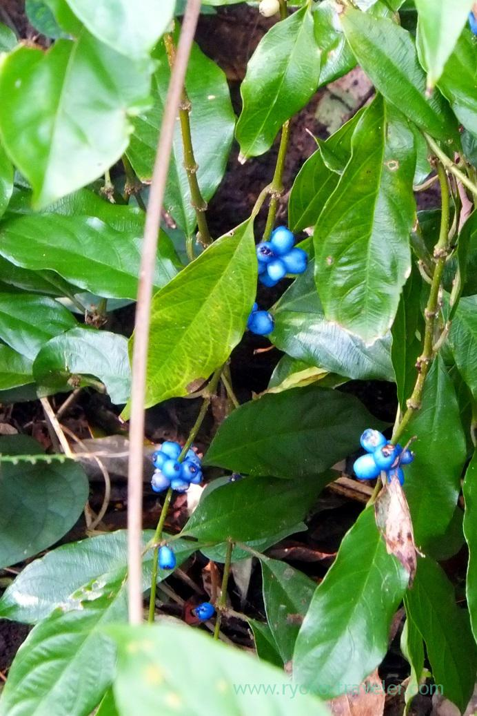 Blue fruits, Kinsakubaru Virgin Forest (Amami 2015)
