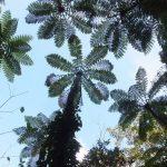 Amami 2015 (4/9) : Kinsakubaru Primeval Forest (金作原原生林)