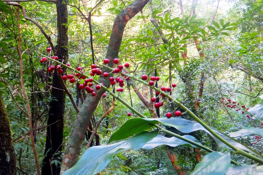Red Fruits, Kinsakubaru Virgin Forest (Amami 2015)