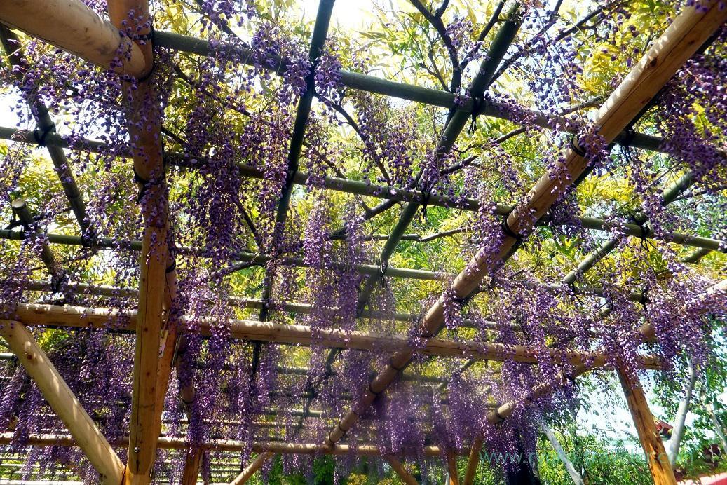 Wisteria trellis, Kameido-ten Jinja shrine (Kameido)